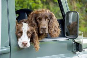 Springer Spaniel Dog and Field Spaniel