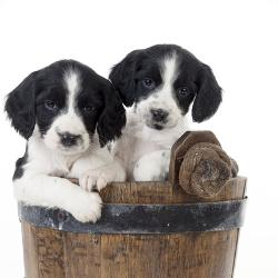 Affordable Spaniel Photos for sale at AllPosters com