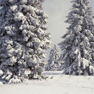 Spruce Fir Trees Covered in Snow