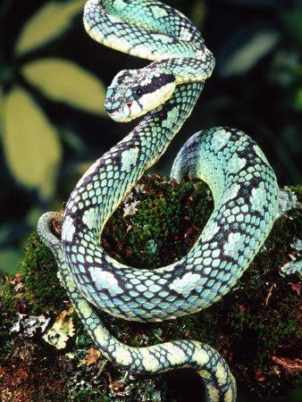 https://imgc.allpostersimages.com/img/posters/sri-lankan-palm-viper-native-to-sri-lanka_u-L-P2TW0A0.jpg?p=0