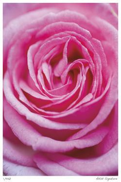 Pink Rose 3 by Stacy Bass