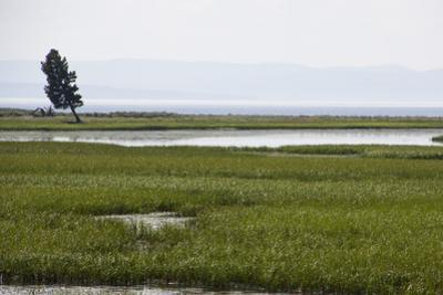 A Lone Tree Stands in Grassy Wetlands Surrounding Yellowstone Lake by Stacy Gold
