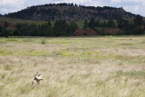 A Prairie Dog Stands Up in a Landscape of Prairie Grass by Stacy Gold
