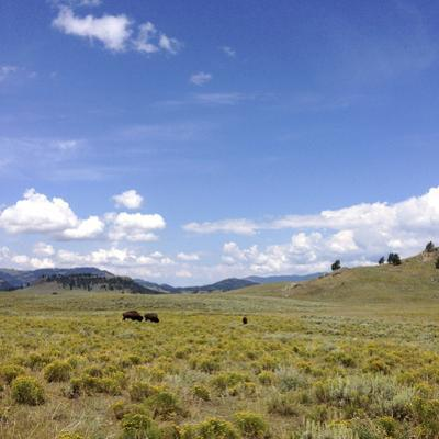 Bison in a Field in the Lamar Valley by Stacy Gold