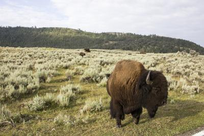 Bison Roam in a Field in the Lamar Valley by Stacy Gold