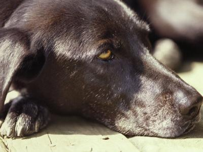Black Lab Lounges in the Afternoon Sun by Stacy Gold
