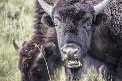 Close Up of Bison Grazing in the Lamar Valley by Stacy Gold
