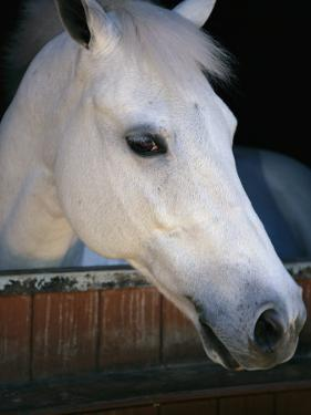 Portrait of a White Horse Looking Out the Door of its Stall by Stacy Gold