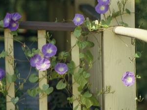 Purple Flowers Bloom on a Vine That Wraps Around a Wooden Fence by Stacy Gold