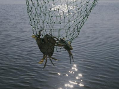 Two Blue Crabs Caught in a Net by Stacy Gold