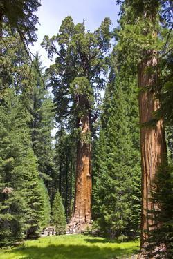 View of the Largest Tree in the World, Named General Sherman by Stacy Gold