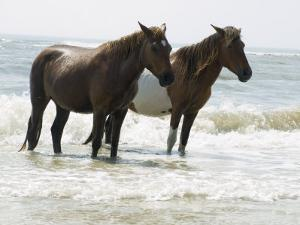 Wild Horses Bathe in the Atlantic Ocean Off the Coast of Maryland by Stacy Gold