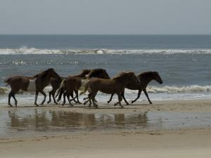 Wild Horses Run on the Beach in Assateague, Maryland by Stacy Gold
