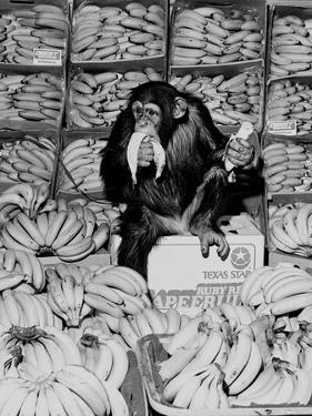 A Chimpanzee in Paradise by Staff