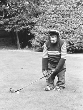 A Chimpanzee playing a round of golf by Staff