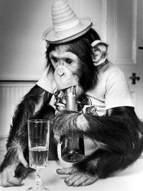 Chimpanzee at Twycross Zoo 1988 by Staff