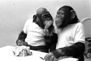 Two Chimpanzees celebrating Easter by Staff