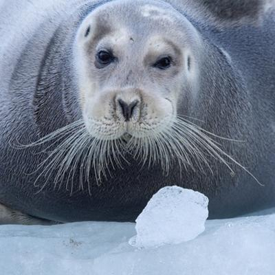 Bearded Seal (Erignathus Barbatus) Hauled Out On Ice, Spitsbergen, Svalbard, Norway, September
