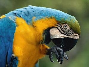 Blue and Yellow Macaw, S America by Staffan Widstrand
