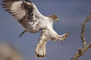 Bonelli's Eagle or Eurasian Hawk-Eagle by Staffan Widstrand
