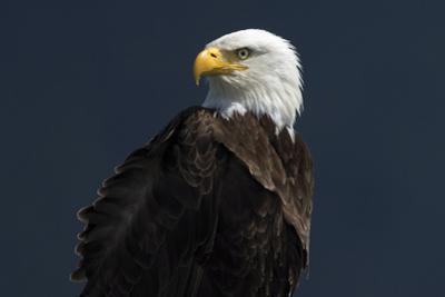 Eagle Ahead