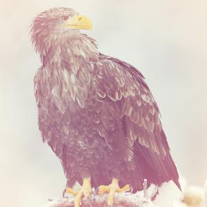 Eagle - Soft by Staffan Widstrand