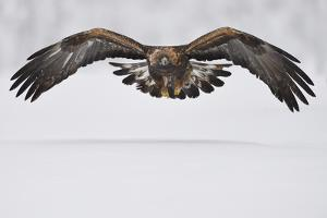 Golden eagle in flight over snow, Lapland, Sweden by Staffan Widstrand