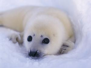 Newborn Harp Seal by Staffan Widstrand