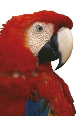 Parrot Profile - Pure by Staffan Widstrand