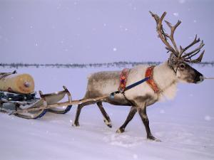 Reindeer, Pulling Sledge, Saami Easter, Norway by Staffan Widstrand