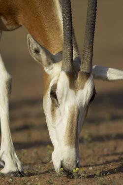 Scimitar-Horned Oryx (Oryx Dammah), Dubai Desert Conservation Reserve, Dubai, Uae by Staffan Widstrand