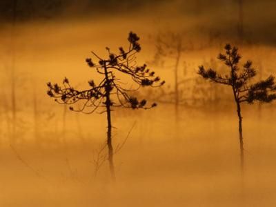 Scots Pines, in Morning Mist, Finland