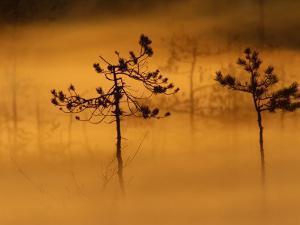 Scots Pines, in Morning Mist, Finland by Staffan Widstrand
