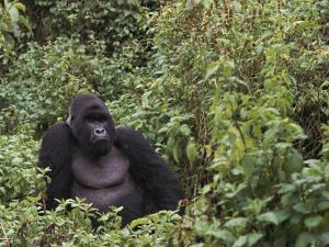 Silverback Mountain Gorilla, Amongst Vegetation, Zaire by Staffan Widstrand