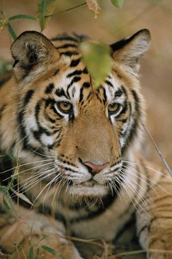 Waiting Tiger by Staffan Widstrand