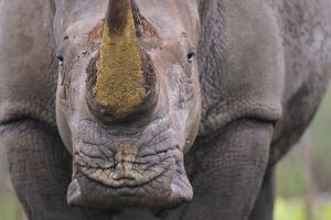 White Rhinoceros (Ceratotherium Simum) Close Up Portrait, Imfolozi National Park, South Africa by Staffan Widstrand