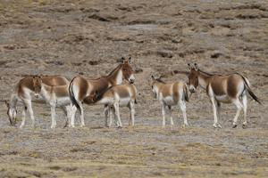 Asian wild ass herd in wetlands near Madoa, Tibetan Plateau, Qinghai, China by Staffan Widstrand/Wild Wonders of China