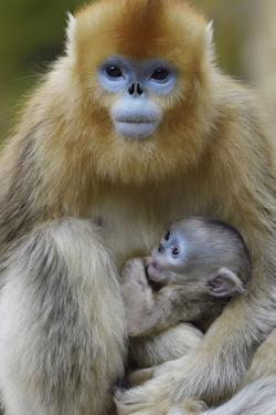 Golden snub-nosed monkey female with very young baby, Foping Nature Reserve, Shaanxi, China by Staffan Widstrand/Wild Wonders of China