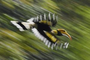 Great hornbill in flight, blurred motion, Tongbiguan NR, Dehong Prefecture, Yunnan Province, China by Staffan Widstrand/Wild Wonders of China