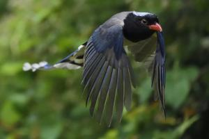 Red-billed blue magpie flying, Yangxian Biosphere Reserve, Shaanxi, China by Staffan Widstrand/Wild Wonders of China