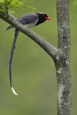 Red-billed blue magpie perched on branch, Tangjiahe National NR, Sichuan province, China by Staffan Widstrand/Wild Wonders of China