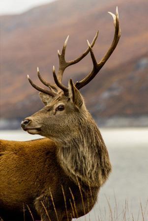 Stag Antlers Scot Glen Garry