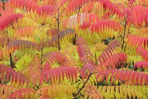 Stag'S-Horn Sumac Leaves Showing Autumn Colour