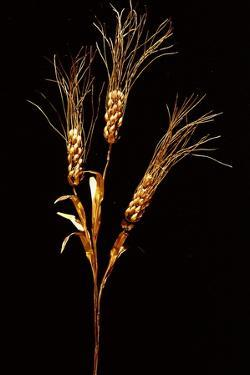 Stalk of Wheat (Triticum Compactum) Dividing into Three Stems with Ears