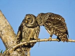 Barred Owl, Pair Bonding, Florida, USA by Stan Osolinski