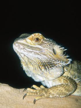 Bearded Dragon, Aquarium Animal by Stan Osolinski