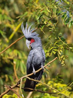 Black Palm Cockatoo, Crest Erect, Zoo Animal by Stan Osolinski