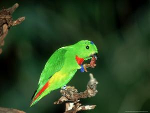 Blue-Crowned Hanging Parrot, Male Eating, Zoo Animal by Stan Osolinski