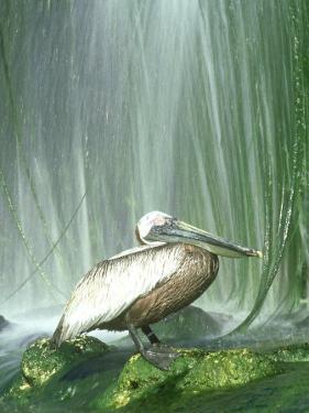 Brown Pelican, Adult, Rehab Zoo Animal by Stan Osolinski