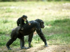 Chimpanzee, Baby on Back, Zoo Animal by Stan Osolinski